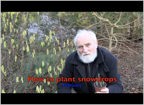 How to plant snowdrops